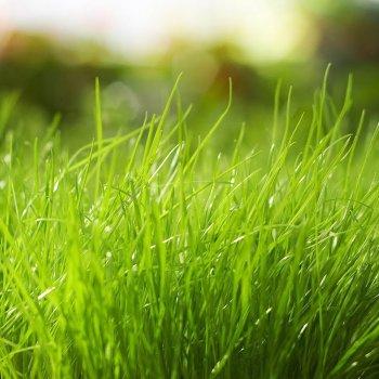 Газонная трава Райграс многолетний, смесь, семена, DLF Trifolium, Дания