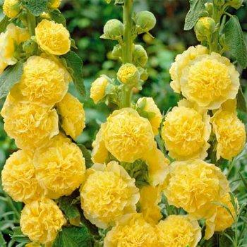Мальва Шатер желтая, семена цветов, Legutko, Польша