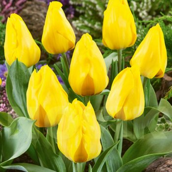 Тюльпан простой ранний Єлоу Флер (25 шт)