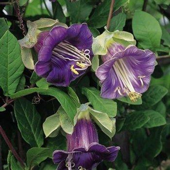 Кобея лазающая фиолетовая, семена цветов, Legutko, Польша