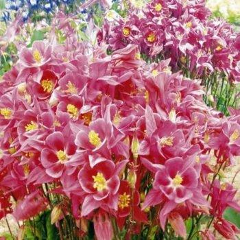 Аквилегия Розовая королева, семена цветов, Legutko, Польша
