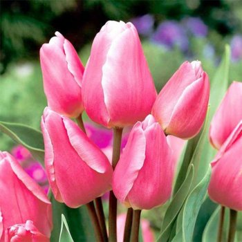"""Тюльпан многоцветковый """"Хеппи Фемели"""" 50 шт."""