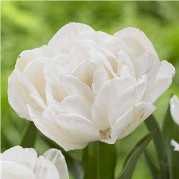 """Тюльпан махровый, поздний """"Маунт Такома"""" 50 шт."""