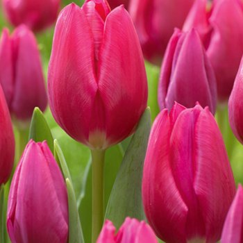 Тюльпан триумф Пинк Ардо (15 шт)