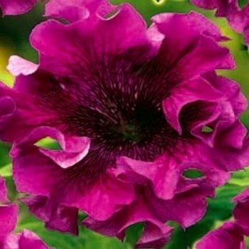 Петуния Афродита пурпурная, семена цветов, Legutko, Польша.