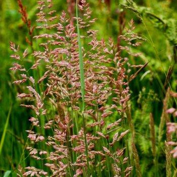 Овсяница красная (Festuca rubra Capricco), семена, Украина