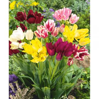 Тюльпан простой поздний Клаб смесь (25 шт)