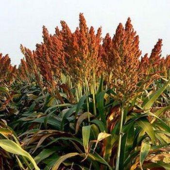 Суданськая трава, семена, Украина