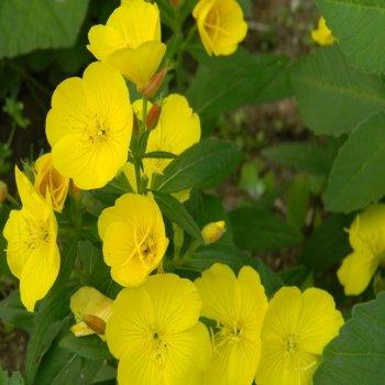 Энотера миссурийская, семена цветов, Legutko, Польша