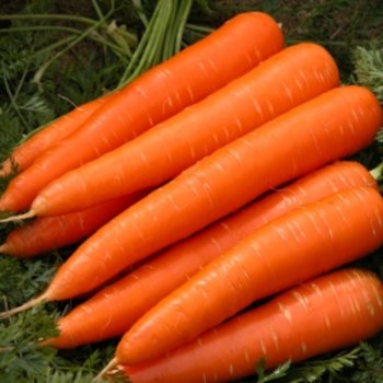 Морковь тип Шантане, Кордоба F1, Bejo Zaden, Голландия