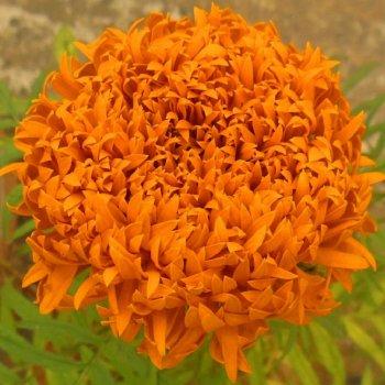 Бархатцы Фантастик оранжевые, семена цветов, Legutko, Польша