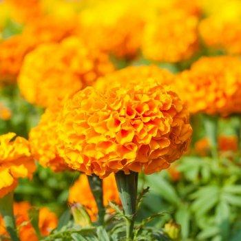 Бархатцы Антигуа, семена цветов, Cerny, Чехия
