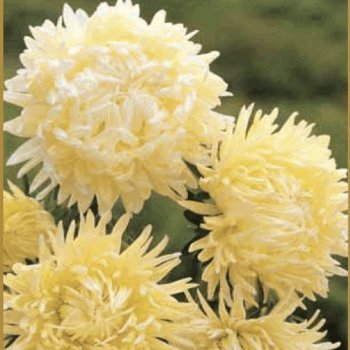 """Астра """"Страусиное перо"""" кремово-желтая, семена цветов, Legutko, Польша."""