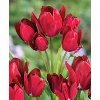 Тюльпан простой поздний Файери Клаб (15 шт)