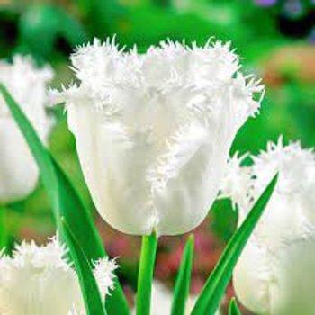 Тюльпан бахромчатый Ханимун (15 шт.)