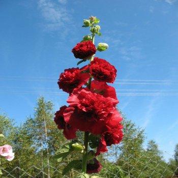 Мальва Шатер  темно-бордовая, семена цветов, Legutko, Польша