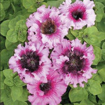 Петуния Розеа, семена цветов, Cerny, Чехия