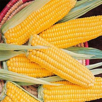 Кукуруза сахарная Мраморная F1, Мнагор,  Украина