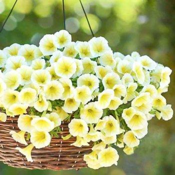 Петуния Желтая, семена цветов, Legutko, Польша.
