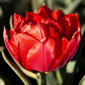 """Тюльпан махровый, ранний """"Викинг"""" 50 шт."""