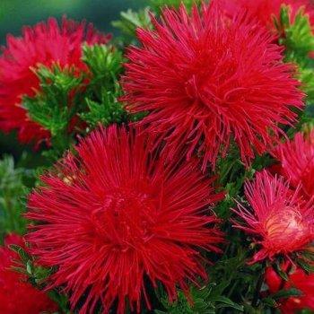 Астра Идеал красная, семена цветов, Legutko, Польша.