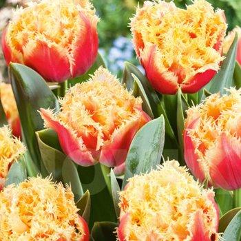 Тюльпан бахромчатый Брисбен (15 шт.)