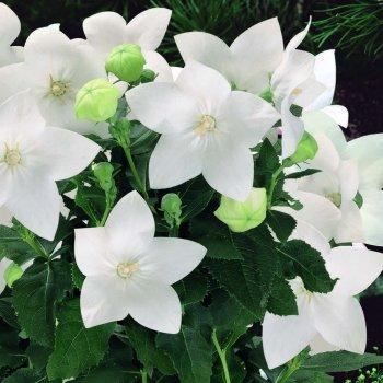 Платикодон  крупноцветковый белый, семена цветов,  Legutko, Польша