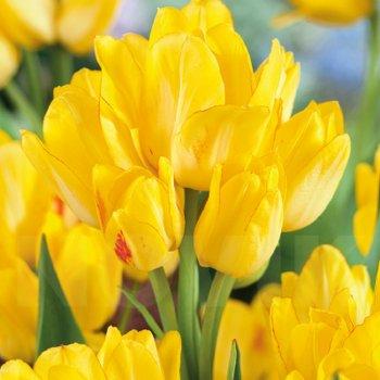 Тюльпан простой поздний Саншайн Клаб (15 шт)